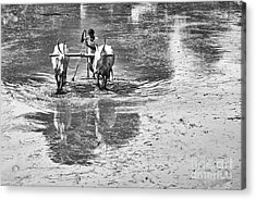 Preparing A Rice Paddy Acrylic Print by Tim Gainey