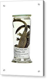 Preserved Newts Acrylic Print by Gregory Davies