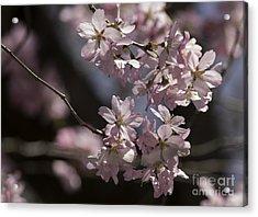 Pretty In Pink Blossom  Acrylic Print by Arlene Carmel