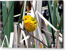 Pretty Little Yellow Warbler Acrylic Print by Elizabeth Winter