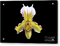 Pretty Paphiopedilum Orchid Ver. 2 Acrylic Print by Susan Wiedmann