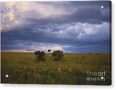 Pride Of Lions Acrylic Print by Art Wolfe