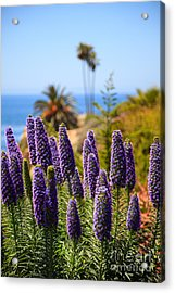 Pride Of Madeira Flowers In Orange County California Acrylic Print by Paul Velgos