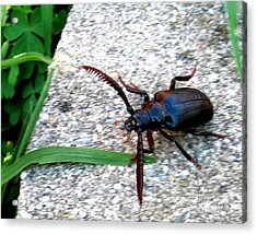 Prionus Coriarius Or Sawying Suport Beetle Acrylic Print by The Kepharts