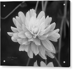 Prissy In Black And White Acrylic Print by Jeanette C Landstrom