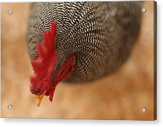 Prize Winning Rooster Acrylic Print by Heidi Hermes