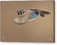 Probably The Most Beautiful Of All Duck Species Acrylic Print by Mircea Costina Photography