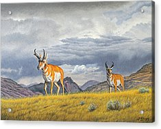 Pronghorn-coming Over The Rise Acrylic Print by Paul Krapf