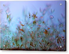Protozoa And Diatoms In Periphyton Acrylic Print by Marek Mis