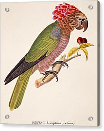 Psittacus Accipitrinus Acrylic Print by German School