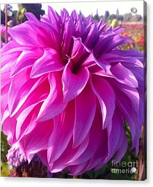 Puff Of Pink Dahlia Acrylic Print by Susan Garren