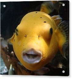 Puffer Poses Acrylic Print by Refresh  Photography