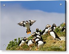 Puffin Colony On Bird Island Hornoya Acrylic Print by Heiko Koehrer-Wagner