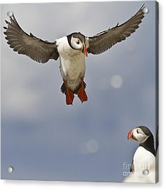 Puffin Coming Home Acrylic Print by Heiko Koehrer-Wagner