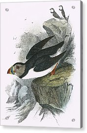 Puffin Acrylic Print by English School