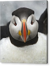 Puffin It Up... Acrylic Print by Nina Stavlund