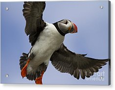Puffin Ready For Landing Acrylic Print by Heiko Koehrer-Wagner