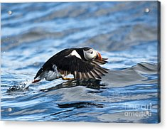 Puffin Starting To Fly Acrylic Print by Heiko Koehrer-Wagner