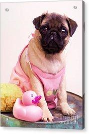 Pug Puppy Bath Time Acrylic Print by Edward Fielding