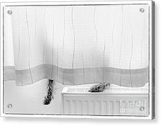 Pup Behind The Curtain Acrylic Print by Natalie Kinnear