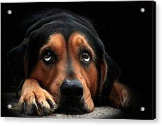 Puppy Dog Eyes Acrylic Print by Christina Rollo