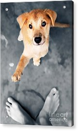 Puppy Saluting Acrylic Print by William Voon