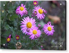 Purple Asters Acrylic Print by Lena Auxier