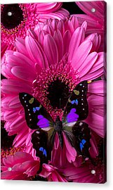 Purple Black Butterfly Acrylic Print by Garry Gay