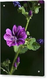 Purple Hollyhock Flowers Acrylic Print by Christina Rollo
