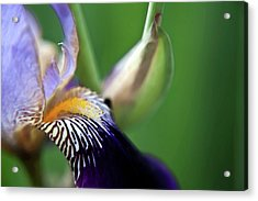 Purple Iris 2 Acrylic Print by Theresa Tahara