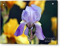 Purple Iris Acrylic Print by Karen Adams