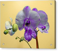 Purple Orchid Acrylic Print by Christy Usilton