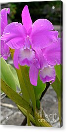 Purple Orchid Acrylic Print by Mukta Gupta