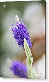 Purple Sage Acrylic Print by Pamela Gail Torres
