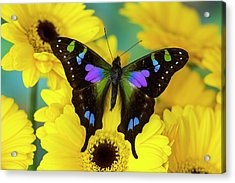 Purple Spotted Swallowtail Butterfly Acrylic Print by Darrell Gulin