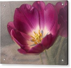 Purple Tulip Acrylic Print by Kim Hojnacki
