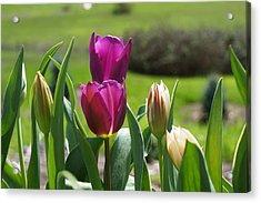Purple Tulips Garden Art Print Tulip Flowers Acrylic Print by Baslee Troutman