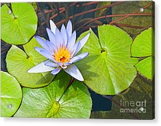 Purple Water Lily In Pond. Acrylic Print by Jamie Pham