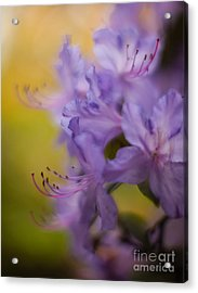 Purple Whispers Acrylic Print by Mike Reid