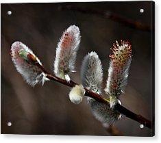 Pussy Willows Acrylic Print by John Haldane