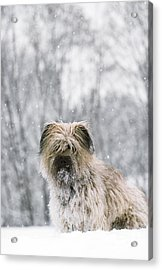 Pyrenean Shepherd Dog Acrylic Print by Jean-Paul Ferrero