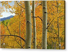 Quaking Aspen In Full Color, Populus Acrylic Print by Maresa Pryor