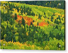 Quaking Aspen In Stages Of Color Acrylic Print by Maresa Pryor