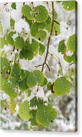 Quaking Aspen Leaves, First Snow Acrylic Print by Maresa Pryor