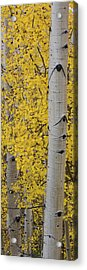 Quaking Aspen Populus Tremuloides Tree Acrylic Print by Panoramic Images