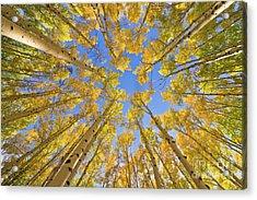 Quaking Aspens In Autumn Utah Acrylic Print by