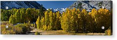 Quaking Aspens Populus Tremuloides Acrylic Print by Panoramic Images