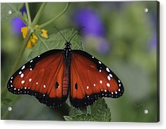 Queen Butterfly Acrylic Print by Penny Lisowski