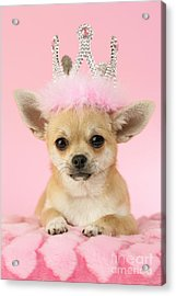 Queen Chihuahua Acrylic Print by Greg Cuddiford