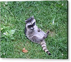 Raccoon Plays In The Grass Acrylic Print by Kym Backland